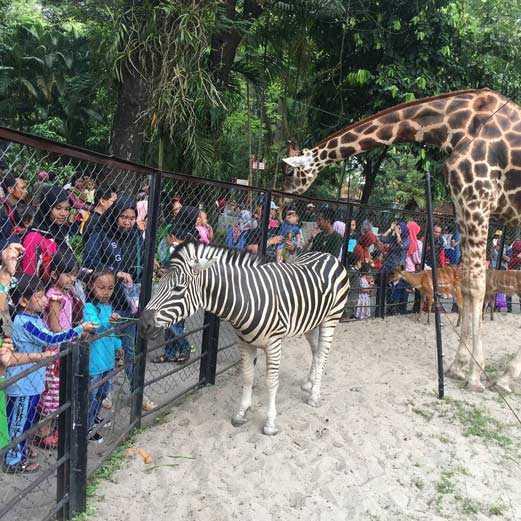 Kebun Binatang Surabaya Tempat Rekreasi Dan Wisata Edukasi Anak