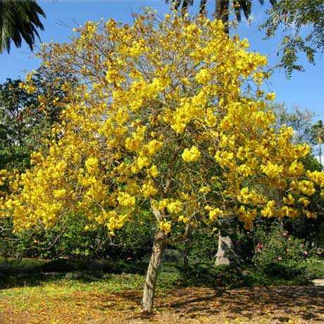 Taman Sakura Tabebuya Kuning